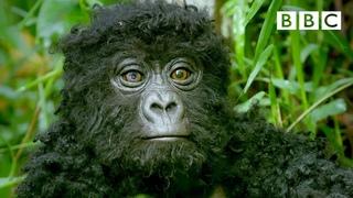 Robot spy gorilla infiltrates a wild gorilla troop 🕵️🦍   Spy In The Wild - BBC