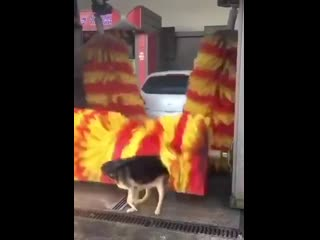 Большинство бездомных собак стараются держаться поближе к мясным магазинам. А этот парень нашел своё идеальное место.