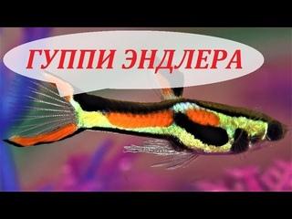 Рыбки Гуппи Эндлера в аквариуме. Содержание, размножение, кормление и уход.