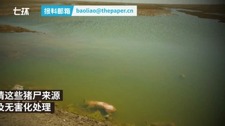 Dead pigs from unknown origin found in Yellow River dyke in Inner Mongolia 内蒙古段黄河大堤内发现不少死猪,来源尚不清楚