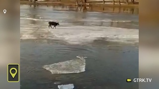 Корова сама себя спасла с дрейфующей льдины в Башкирии - видео