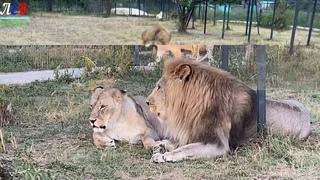 Клип о львах Чука и его брате Геке!