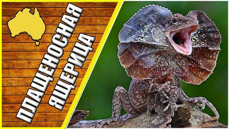 Плащеносная ящерица животные Австралии дикие животные