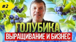 Голубика как бизнес  Посадка, выращивание и уход за голубикой   Blueberry