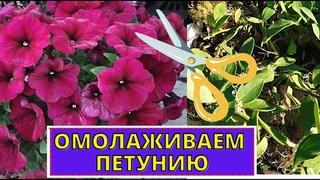 ПЕТУНИЯ как продлить цветение. Омолаживающая обрезка