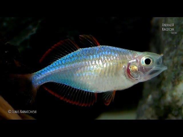 Dwarf Neon Rainbowfish Melanotaenia praecox Young fishes Animalia Kingdom Show