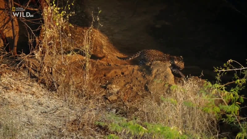 National Geographic Wild HD Скала леопардов