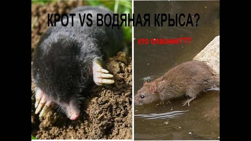 ВРЕДИТЕЛИ НА ОГОРОДЕ Крот и водяная крыса Кто опаснее Как бороться СМОТРИТЕ ПОДРОБНО В ВИДЕО