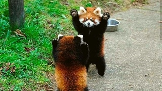 Sweet Adorable Precious Red Panda - The Cutest Red Panda Compilation