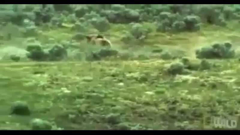 Молодой бизон с мамой убегают от медведя