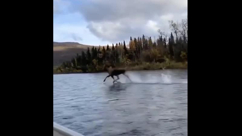 Лось перебегает реку