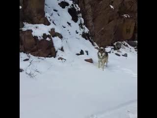 Только русские могут кормить волка, приговаривая: Не бойся