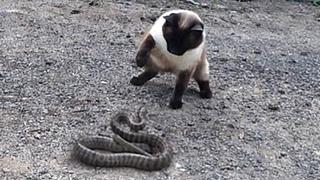 Сиамский КОТ против ГАДЮКИ! 10 Эпических сражений кошек против змей снятых на камеру!