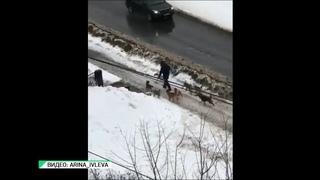 Бийчане боятся ходить по улицам из-за бродячих собак  (Будни, г., Бийское телевидение)