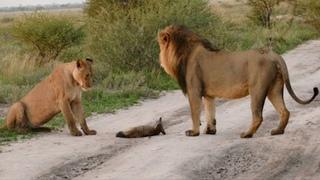 Deux lions se sont approchés du renard blessé... Puis l'inimaginable s'est produit