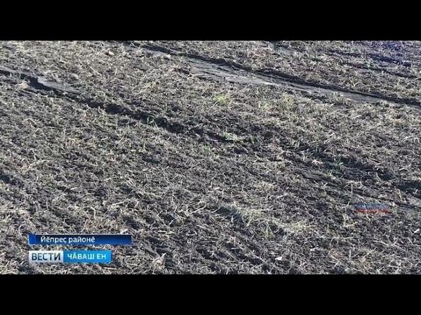 Вӑрнарпа Йӗпреҫ тӑрӑхӗсенче кӗрхи культурӑсен 80 проценчӗ пӗтнӗ