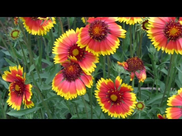 Цветение Гайлардии Bloom of Gaillardia