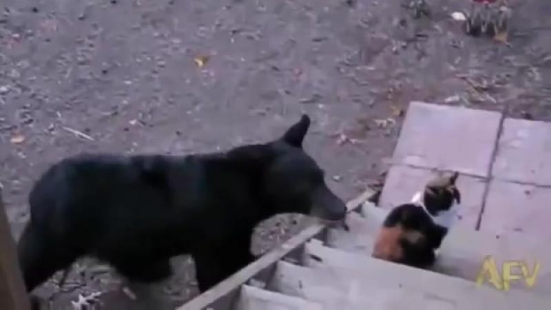 Кот гоняет медведя гифка