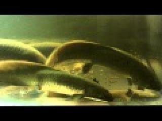 Neoceratodus forsteri Australian Lungfish update 10/21/2011