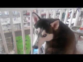Собака хаски обиделась, что ее не пускают в дом