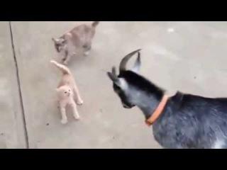 Крохотный котенок против козла