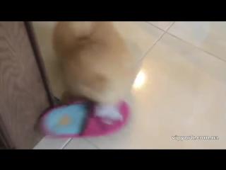Любимая игрушка шпица - тапок хозяйки)