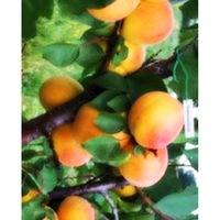 Саженцы абрикоса Фармингдейл