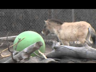 Denver Zoo Przewalskis horse Batu loves his toy ball