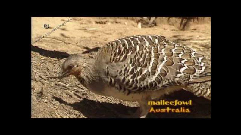 Malleefowl Глазчатая курица Leipoa ocellata