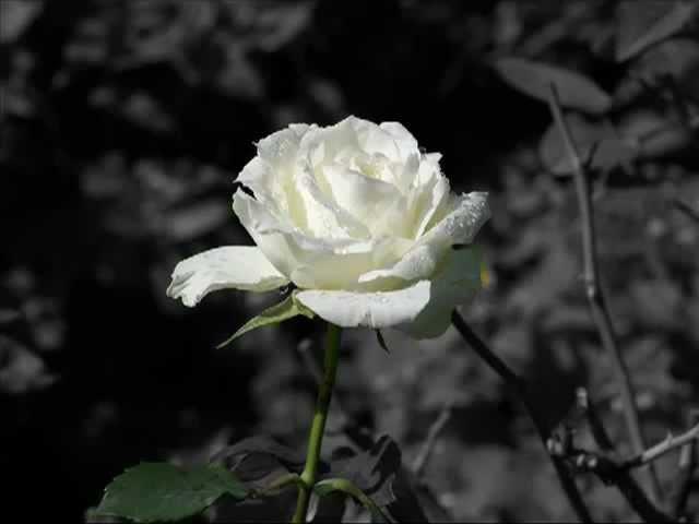 A Eiropa Baltas rozes