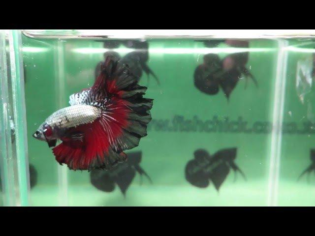 Fishchick Auctions Cherokee Blaze Rosetail Halfmoon Male (newlisting)