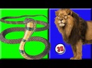 Finger Family Rhyme COBRA TRYES TO ATTACK LION Version nursery rhymes for kids