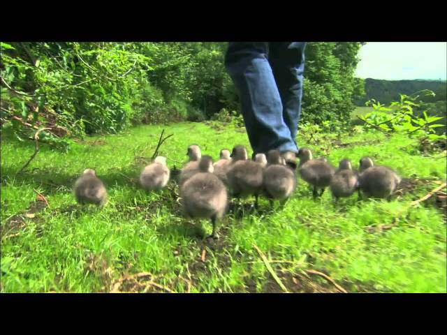 Nature Imprinting Hatchling Geese | EARTHFLIGHT Flying High | PBS