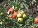 Все о томатах. Выращивание помидор в открытом грунте и в теплице. Дача