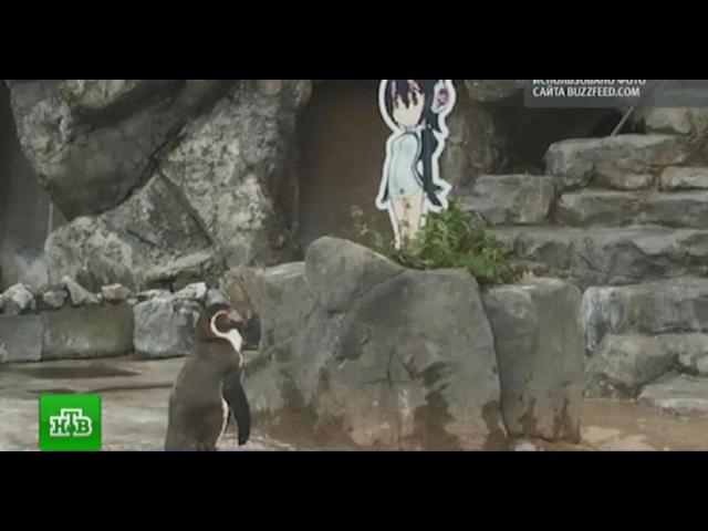 Мир обсуждает историю любви пингвина к картонной героине аниме