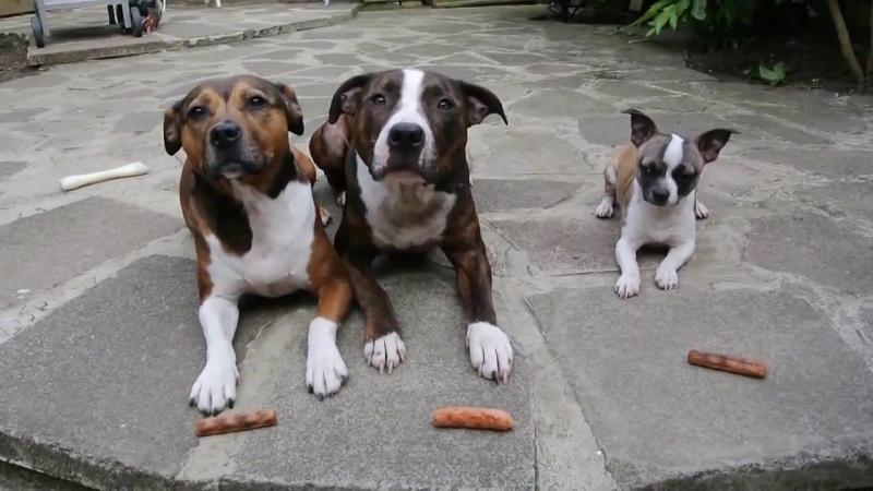 Chihuahua vs pittbulls The Sausage Thief