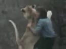 Встреча со львом, после долгой разлуки*