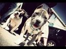 Собаки ПИТБУЛЬ и СТАФФ - МОЩЬ И СИЛА-pit bull terrier