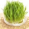 WheatGrass - Витграсс (сок из ростков пшеницы)