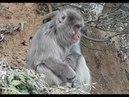 Япония Киото Арасияма Обезьяны на свободе Человек за решеткой Japan Kyoto Arashiyama Monkeys