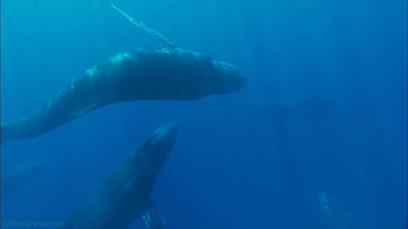 BBC Морские гиганты 3 Голоса океана Познавательный природа животные 2011