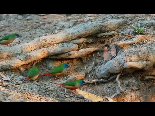 Длиннохвостая попугайная амадина Erythrura prasina