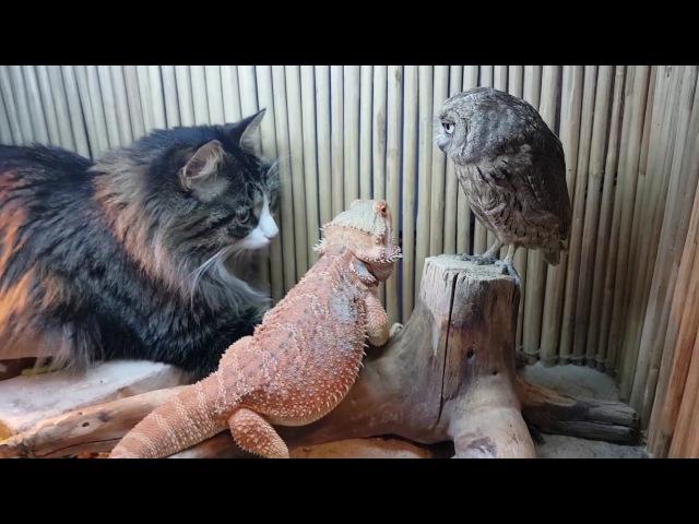 Сова ящерица и кот соображают на троих чудо порошок закусывая тараканами