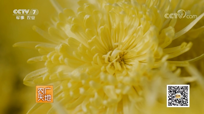 Хризантема ''ЦзюйХуа'' (цветок хризантемы). Жёлтая хризантема ''Цзинь Цзюй'' (золотая хризантема).Чай (лечебный напиток) из сушё