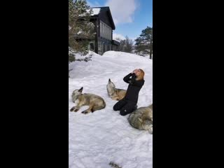 Howling with norwegian wolves