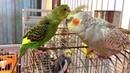 Parakeet in love with Cockatiel