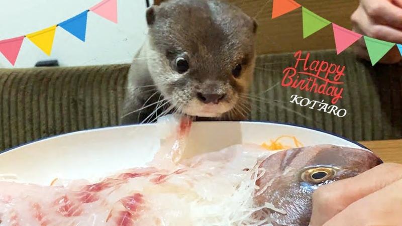 カワウソ コタロー 誕生日おめでとう!鯛の姿造りと刺身盛に大興奮!! Kotaro the Otter Happy 1st Birthday