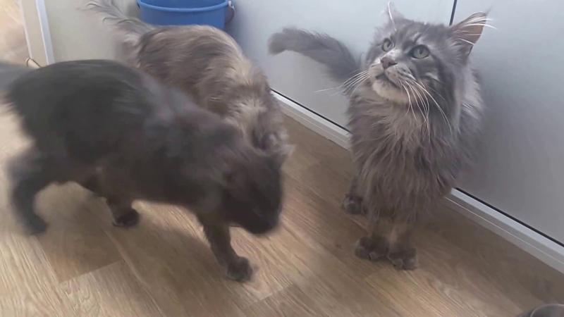 Кошка, которая не умеет лакать молоко. Забавные смешные кошки