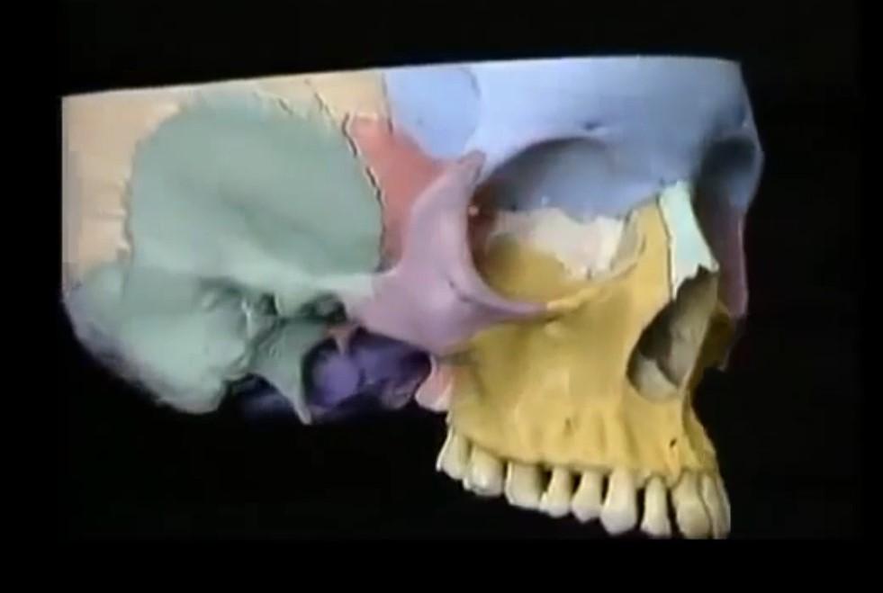 Анатомия костей черепа и кровооснабжение основных органов