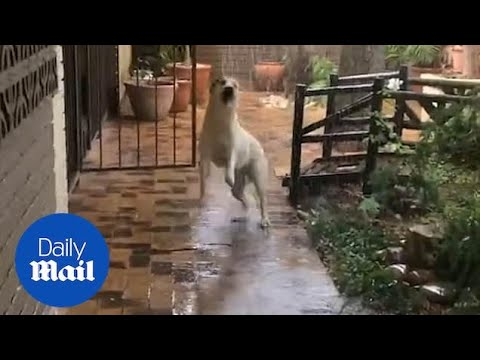 Adorable moment dog jumps for joy seeing rain for first time